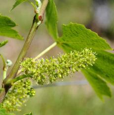 Vigne Beaujolais Nouveaux au printemps - © JB LAISSARD
