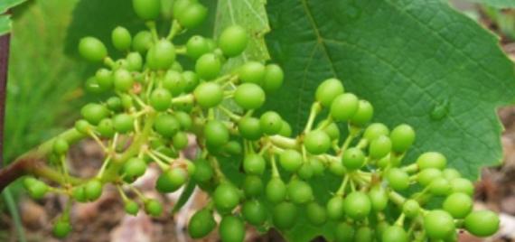 La vigne est belle en Beaujolais !