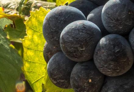 Beaujolais nouveaux gamay